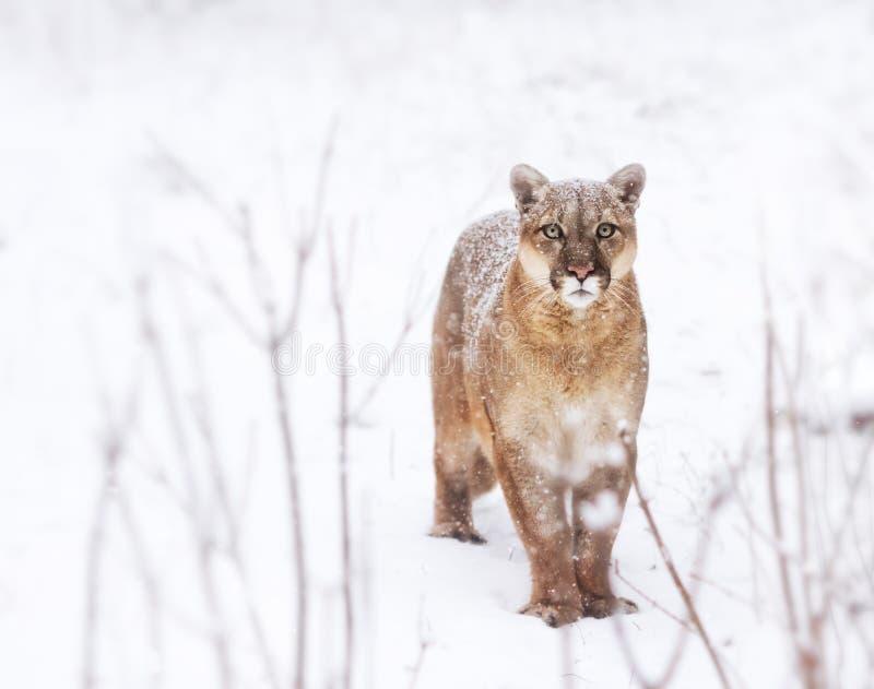 Το Puma στα ξύλα, λιοντάρι βουνών κοιτάζει, ενιαία γάτα στο χιόνι στοκ φωτογραφία με δικαίωμα ελεύθερης χρήσης