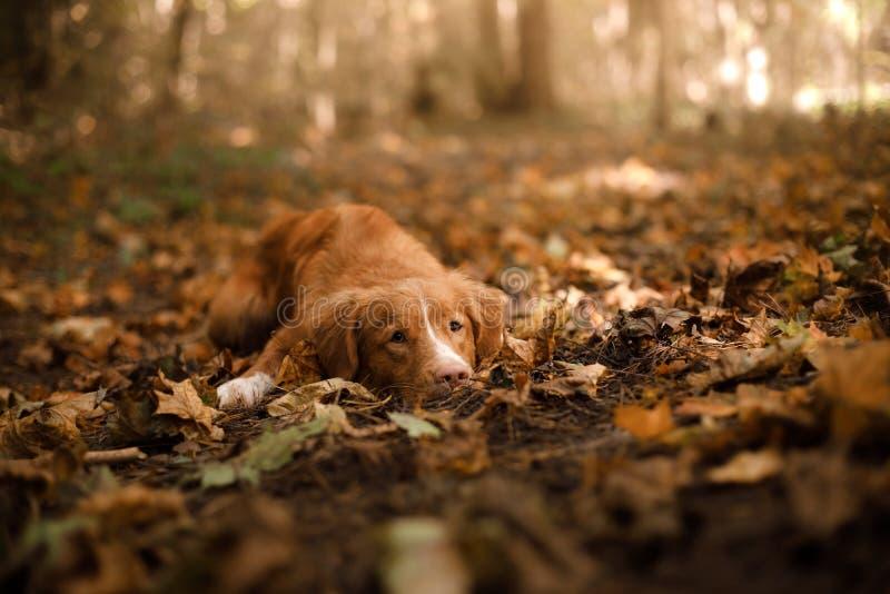 Το Retriever διοδίων παπιών της Νέας Σκοτίας σκυλί που βρίσκεται στην πεσμένη άδεια στοκ φωτογραφίες με δικαίωμα ελεύθερης χρήσης