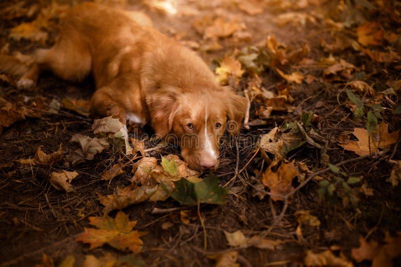 Το Retriever διοδίων παπιών της Νέας Σκοτίας σκυλί που βρίσκεται στην πεσμένη άδεια στοκ φωτογραφία