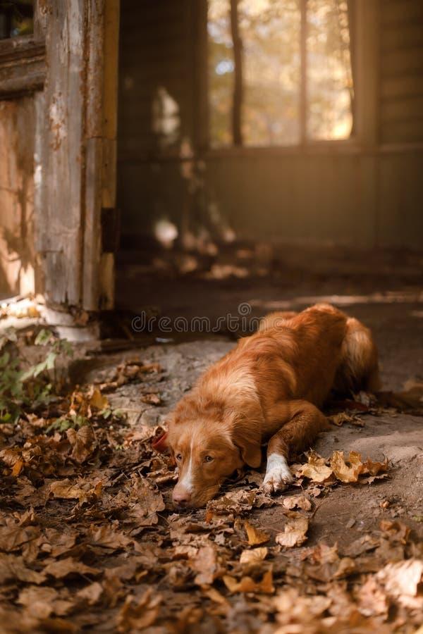 Το Retriever διοδίων παπιών της Νέας Σκοτίας σκυλί που βρίσκεται στην πεσμένη άδεια στοκ φωτογραφίες