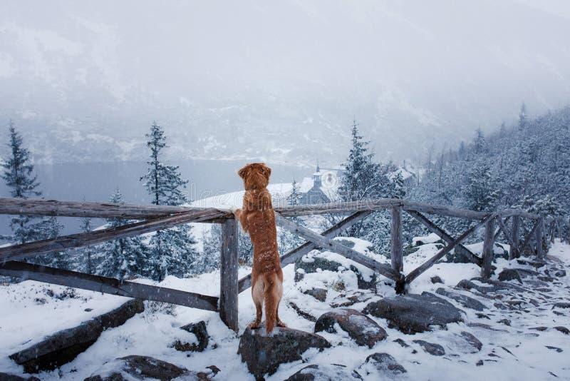 Το Retriever διοδίων παπιών της Νέας Σκοτίας σκυλί στα χειμερινά βουνά στοκ εικόνα με δικαίωμα ελεύθερης χρήσης