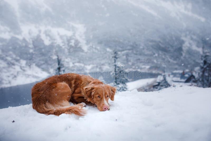 Το Retriever διοδίων παπιών της Νέας Σκοτίας σκυλί στα χειμερινά βουνά στοκ εικόνα