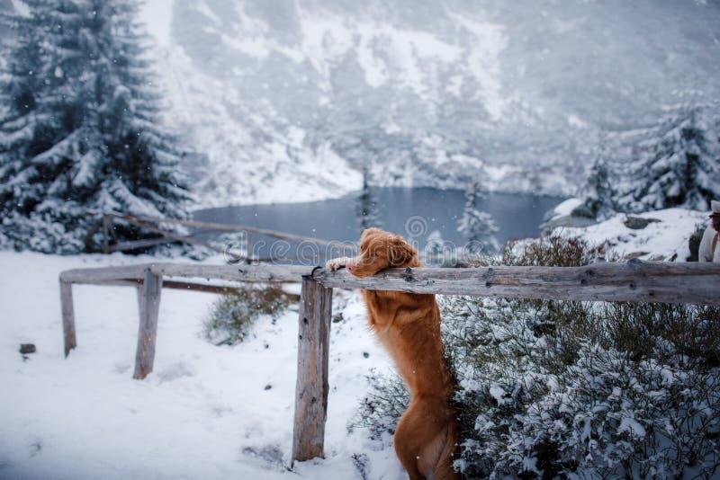 Το Retriever διοδίων παπιών της Νέας Σκοτίας σκυλί στα χειμερινά βουνά στοκ φωτογραφίες