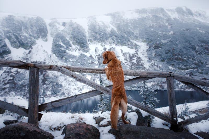 Το Retriever διοδίων παπιών της Νέας Σκοτίας σκυλί στα χειμερινά βουνά στοκ εικόνες με δικαίωμα ελεύθερης χρήσης