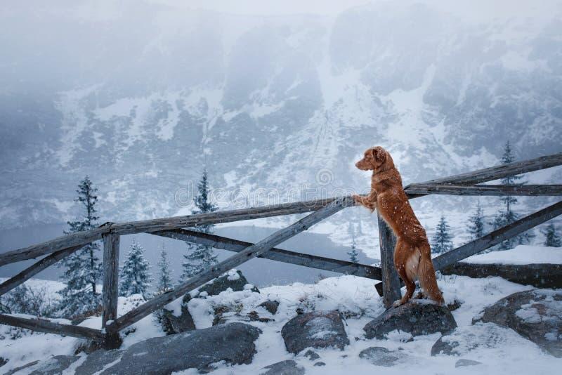 Το Retriever διοδίων παπιών της Νέας Σκοτίας σκυλί στα χειμερινά βουνά στοκ φωτογραφίες με δικαίωμα ελεύθερης χρήσης