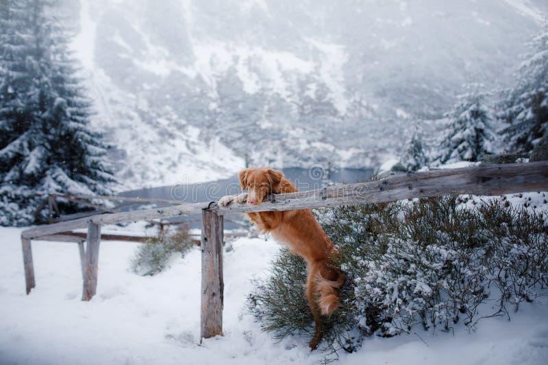 Το Retriever διοδίων παπιών της Νέας Σκοτίας σκυλί στα χειμερινά βουνά στοκ εικόνες