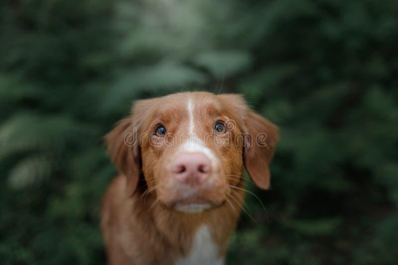 Το Retriever διοδίων παπιών της Νέας Σκοτίας σκυλί στη φύση στοκ φωτογραφία