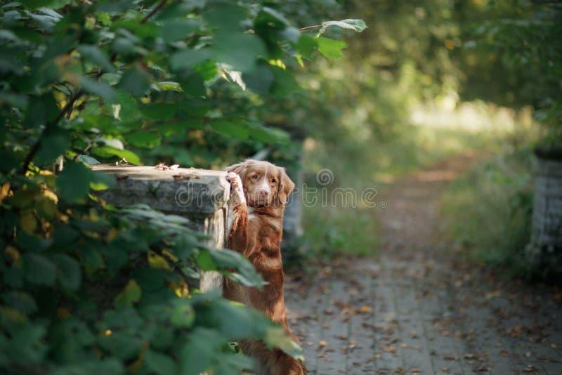 Το Retriever διοδίων παπιών της Νέας Σκοτίας σκυλί υπαίθριο στοκ φωτογραφίες με δικαίωμα ελεύθερης χρήσης