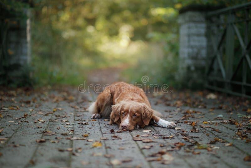Το Retriever διοδίων παπιών της Νέας Σκοτίας σκυλί υπαίθριο στοκ εικόνες με δικαίωμα ελεύθερης χρήσης