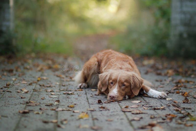 Το Retriever διοδίων παπιών της Νέας Σκοτίας σκυλί υπαίθριο στοκ φωτογραφία με δικαίωμα ελεύθερης χρήσης