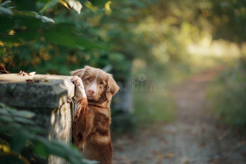 Το Retriever διοδίων παπιών της Νέας Σκοτίας σκυλί υπαίθριο στοκ εικόνα