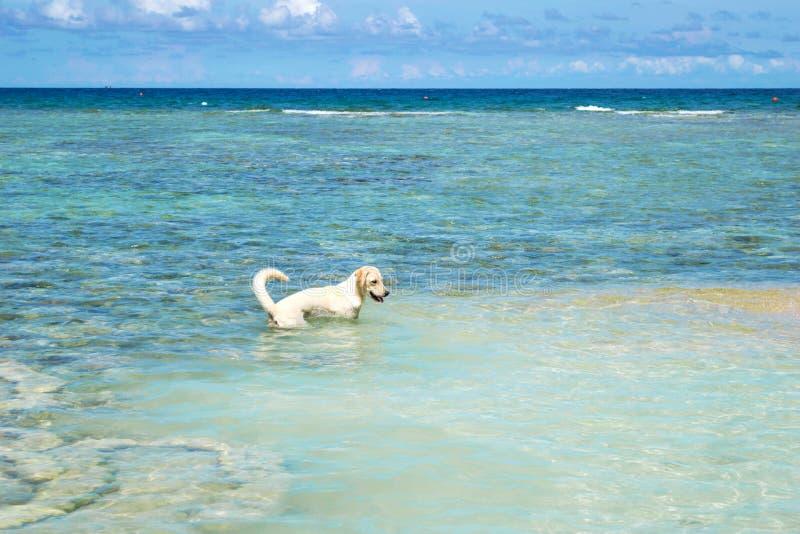 Το Retriever του Λαμπραντόρ σκυλί στην μπλε θάλασσα με το σαφή μπλε ουρανό Koh στο νησί Chang στην Ταϊλάνδη στοκ φωτογραφία με δικαίωμα ελεύθερης χρήσης