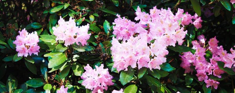 Το Rodendrons εξωραΐζει το βοτανικό κήπο Όμορφο πανόραμα με το ρόδινο καλοκαίρι rodendrons στο υπόβαθρο των φύλλων στοκ εικόνα με δικαίωμα ελεύθερης χρήσης