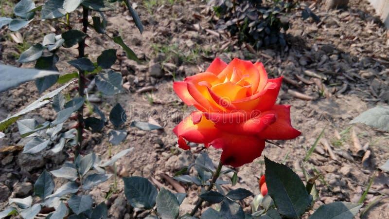 Το Sahil κόκκινο αυξήθηκε στη δασική περιοχή στοκ εικόνα