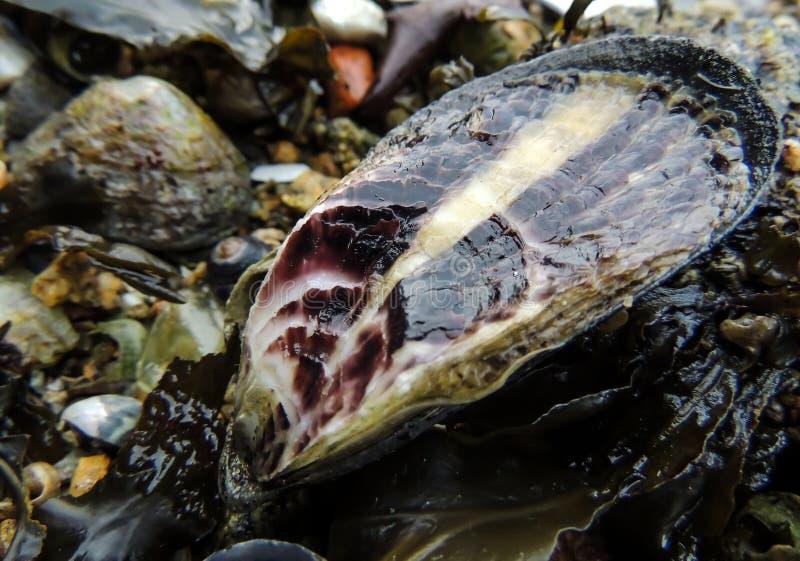 Το Seashell στην παραλία στοκ φωτογραφία με δικαίωμα ελεύθερης χρήσης