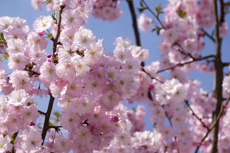 Το serrulata Prunus στην άνθιση, ρομαντικό ρόδινο ανθίζοντας δέντρο άνοιξη, διακλαδίζεται σύνολο των διπλών λουλουδιών στοκ εικόνες