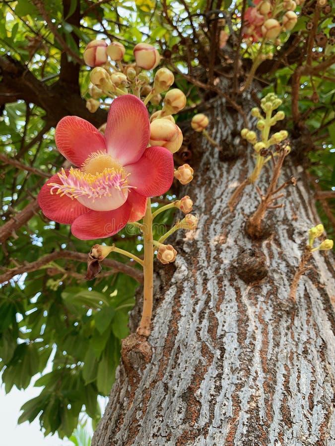 Το Shorea robusta, Dipterocarpaceae, κόκκινο λουλούδι Sala που ανθίζει, ινδικά σκληρά δέντρα είναι σημαντικό στο βουδισμό στοκ φωτογραφία