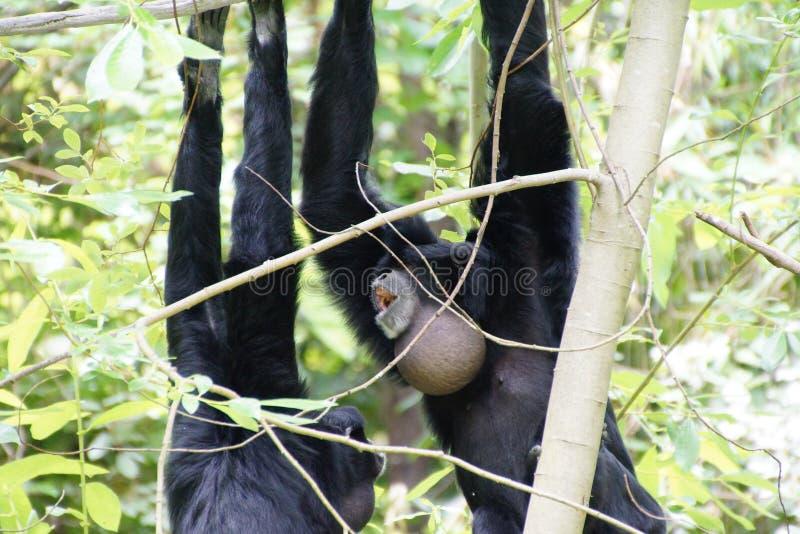 Το Siamang διογκώνει τη σακούλα λαιμών στοκ φωτογραφία