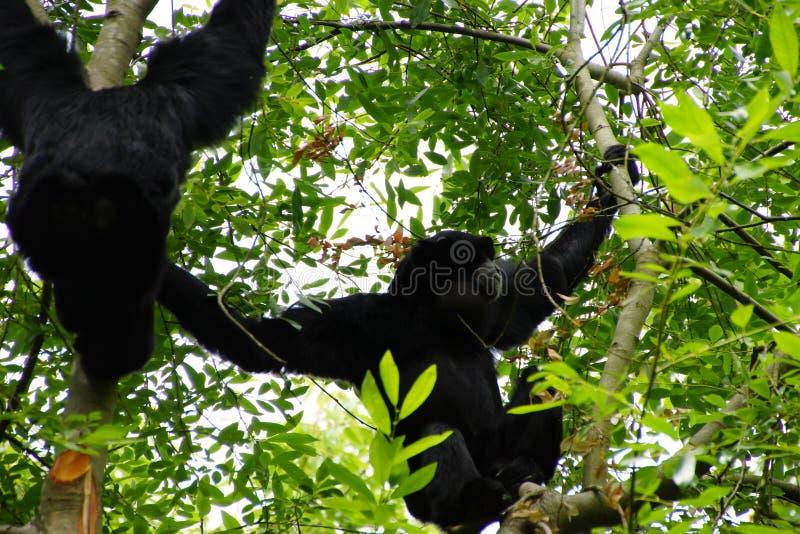 Το Siamang διογκώνει τη σακούλα λαιμών στοκ φωτογραφίες με δικαίωμα ελεύθερης χρήσης