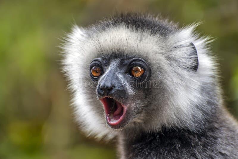το sifaka Το Diadema, ενδημικό, Ο σπάνιος κερκοπίθηκος, κλείνει επάνω, πορτρέτο Diadema Propithecus, άγρια φύση Μαδαγασκάρη στοκ εικόνα
