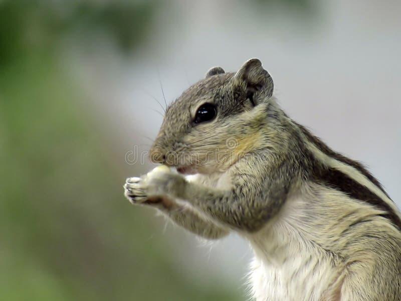 Το Sqirrel στοκ εικόνα με δικαίωμα ελεύθερης χρήσης