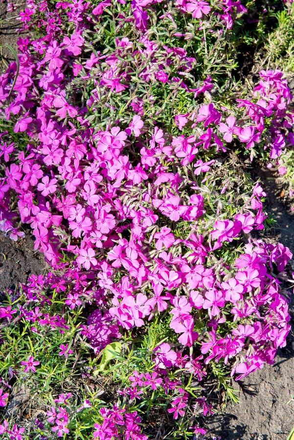 Το subulata Phlox βρύου phlox, ή το βουνό phlox, που σέρνεται phlox, ροζ βρύου αυτό είναι χαλιά μιας αειθαλή αιώνια διαμόρφωσης ή στοκ εικόνα με δικαίωμα ελεύθερης χρήσης