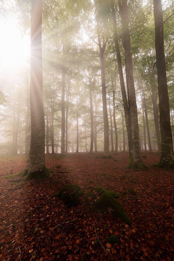 Το Sunrays το δάσος οξιών σε Entzia στοκ φωτογραφία