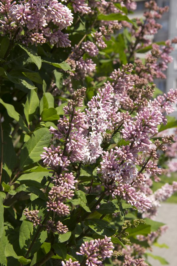 Το Syringa είναι ένα γένος των θάμνων που ανήκουν στην οικογένεια Oleaceae Πολυτελής θάμνος, εξαιρετικά σκληραγωγημένος, ο οποίος στοκ εικόνες