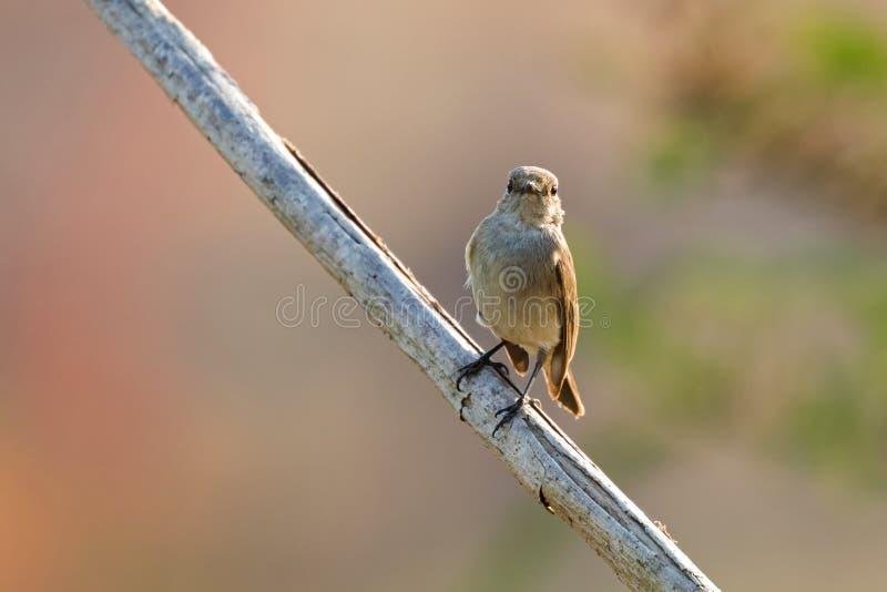Το Taiga, κόκκινος-Flycatcher το αποδημητικό πτηνό καφετί να σκαρφαλώσει στοκ φωτογραφία με δικαίωμα ελεύθερης χρήσης