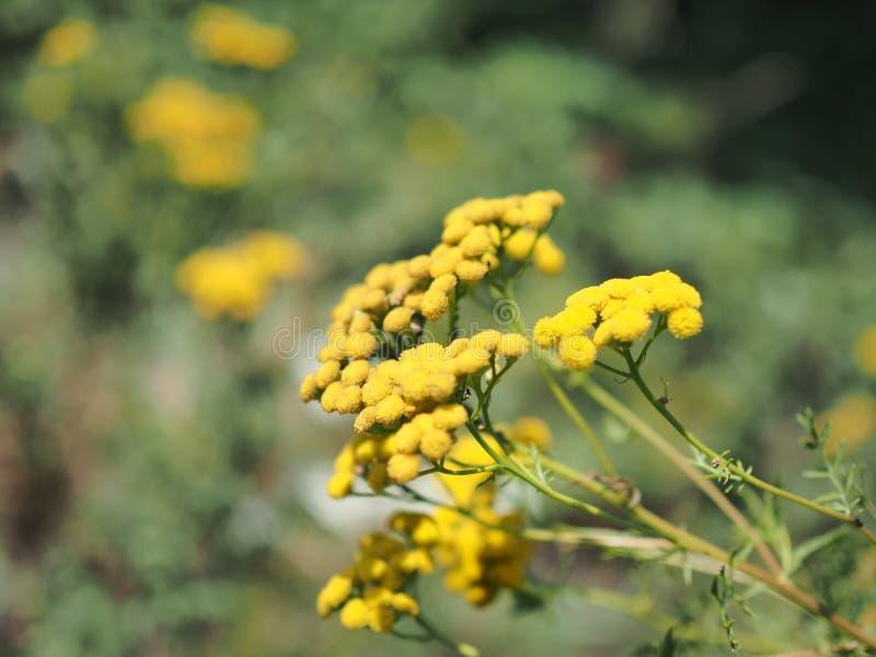 Το Tansy - Tanacetum Vulgare - είναι ένα αιώνιο, ποώδες ανθίζοντας φυτό της οικογένειας αστέρων, ντόπιος στη συγκρατημένες Ευρώπη στοκ εικόνα