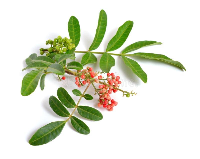 Το terebinthifolia Schinus ή το βραζιλιάνο peppertree, aroeira ή αυξήθηκε πιπέρι, πλατύφυλλο δέντρο πιπεριών, wilelaiki ή wililai στοκ φωτογραφία