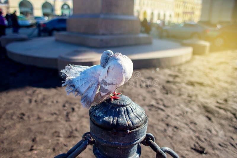 Το thoroughbred γκρίζο όμορφο περιστέρι με ένα μεγάλο στήθος κάθεται στην πόλη σε μια προστασία σε ένα μνημείο στοκ εικόνα με δικαίωμα ελεύθερης χρήσης