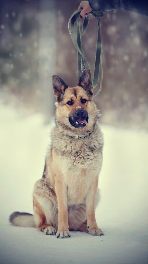 Το thoroughbred σκυλί ένα τσοπανόσκυλο στοκ εικόνες