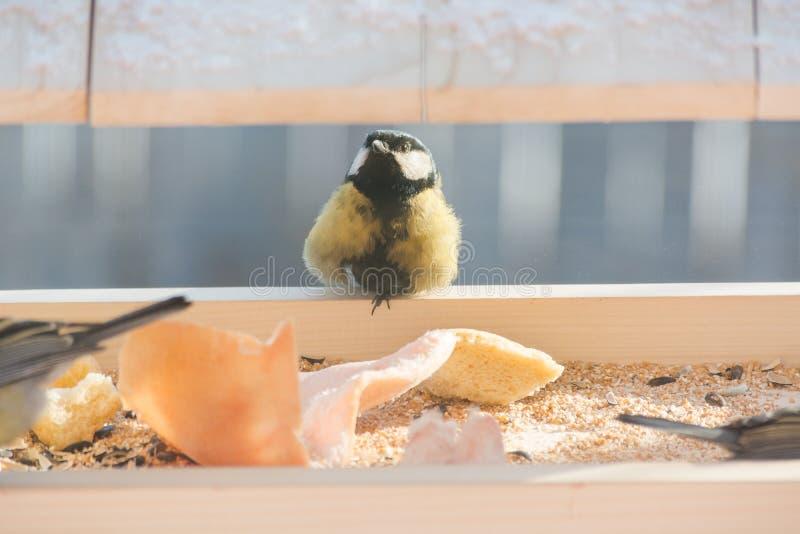 Το titmouse τρώει στη γούρνα στοκ εικόνα