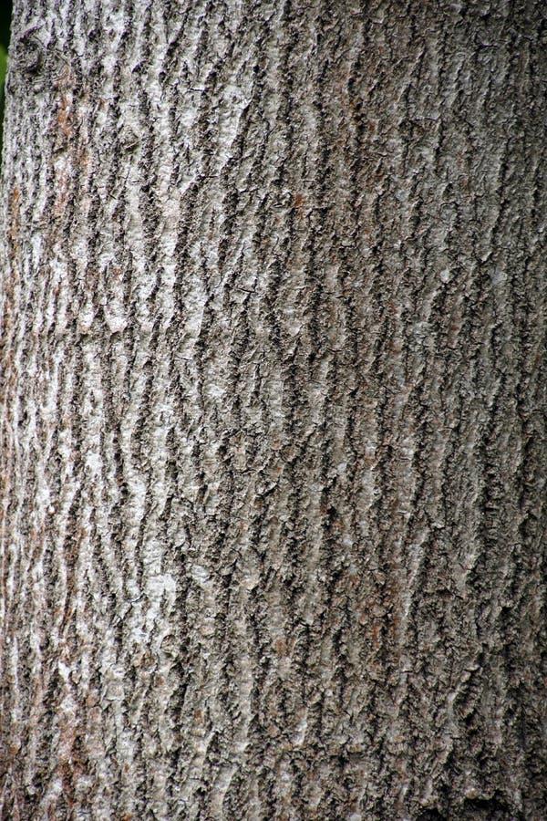 Το tremula Populus αποκαλούμενο συνήθως ο κορμός ενός δέντρου διαβίωσης κραχτών στοκ εικόνα με δικαίωμα ελεύθερης χρήσης