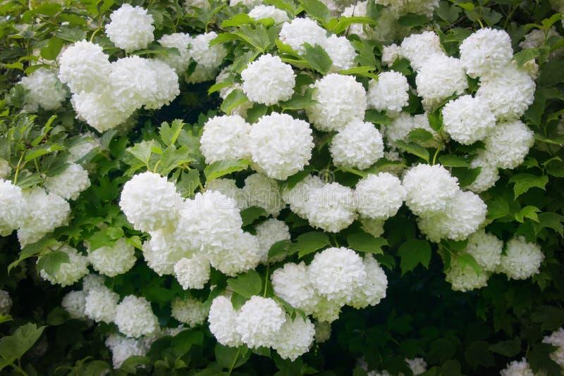 Το Vibúrnum Roseum άνθισε όμορφα άσπρα globular λουλούδια στοκ φωτογραφία με δικαίωμα ελεύθερης χρήσης