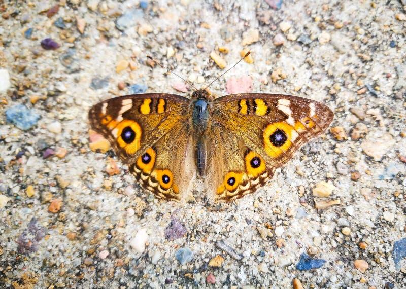 Το villida Argus Junonia λιβαδιών είναι μια πεταλούδα στην οικογένεια Nymphalidae, που βρίσκεται συνήθως στην Αυστραλία στοκ φωτογραφίες