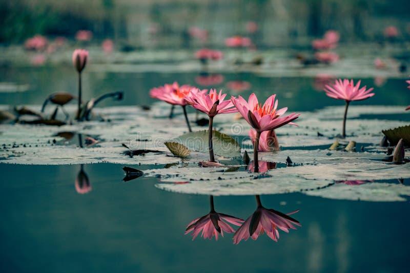 Το Waterlillies εξωραΐζει το νερό στο Βιετνάμ στοκ εικόνες