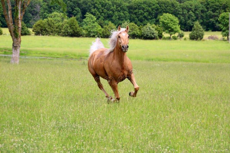 Τρέξιμο αλόγων Palomino στοκ εικόνες με δικαίωμα ελεύθερης χρήσης