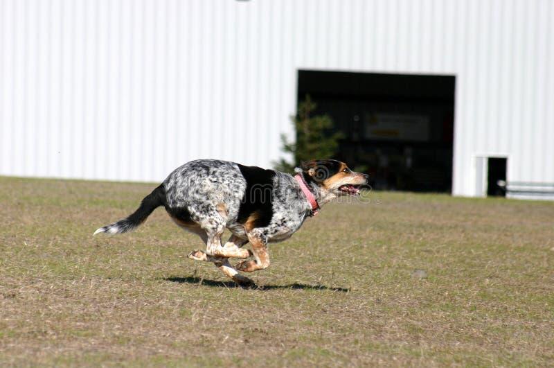 Download τρέξιμο διασκέδασης στοκ εικόνες. εικόνα από σκυλί, agiler - 393816