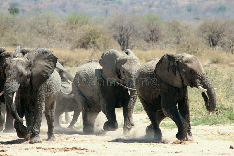 Τρέξιμο ελεφάντων στοκ εικόνα με δικαίωμα ελεύθερης χρήσης