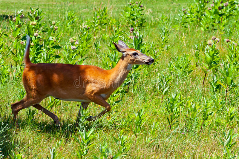 Τρέξιμο ελάφων Whitetail στοκ φωτογραφίες με δικαίωμα ελεύθερης χρήσης
