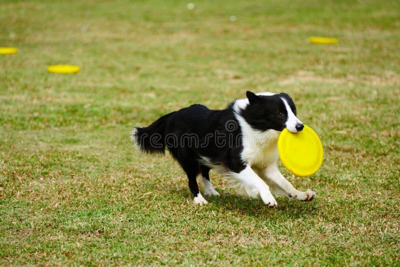 τρέξιμο σκυλιών κόλλεϊ συ& στοκ εικόνα με δικαίωμα ελεύθερης χρήσης