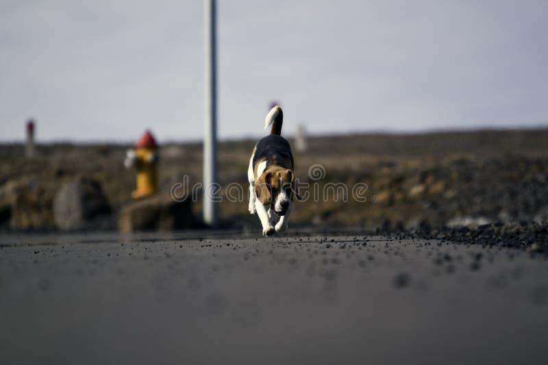 τρέξιμο σκυλιών λαγωνικών στοκ φωτογραφία με δικαίωμα ελεύθερης χρήσης