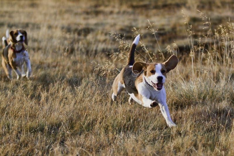 τρέξιμο σκυλιών λαγωνικών στοκ εικόνες με δικαίωμα ελεύθερης χρήσης