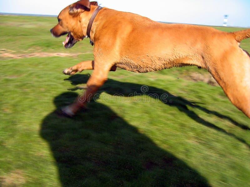 Download τρέξιμο σκυλιών στοκ εικόνα. εικόνα από πράσινος, χλόη - 119713