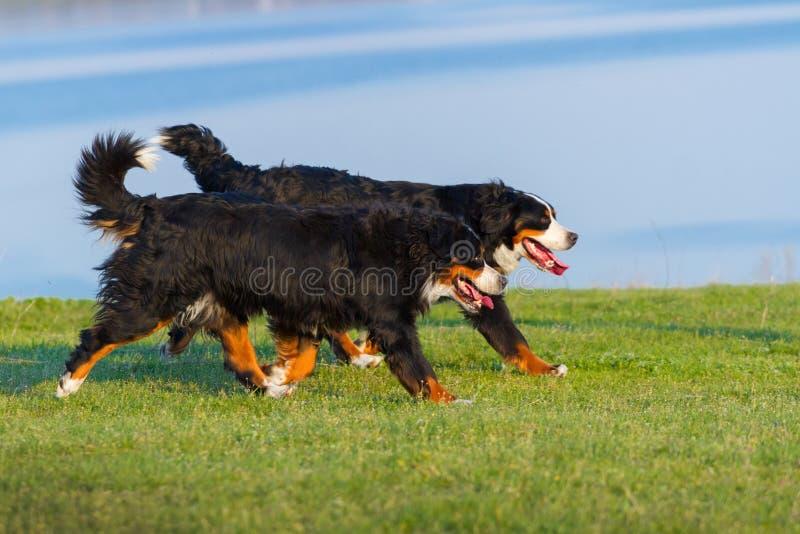 Τρέξιμο σκυλιών ζεύγους στοκ εικόνες με δικαίωμα ελεύθερης χρήσης