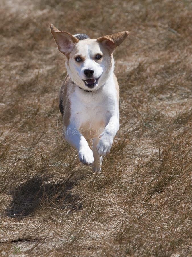 τρέξιμο χλόης λαγωνικών στοκ φωτογραφία