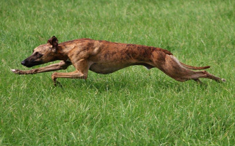 τρέξιμο whippet στοκ φωτογραφία με δικαίωμα ελεύθερης χρήσης