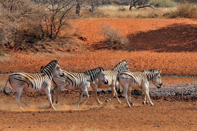 Τρέξιμο Zebras στοκ εικόνα